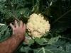 Un choux fleur récolté plus tard.