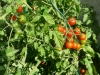 Pied de tomate cerises.