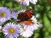 papillon-qui-butine