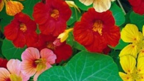 Plante utile au potager les oeillets du potager mon for Plante utile