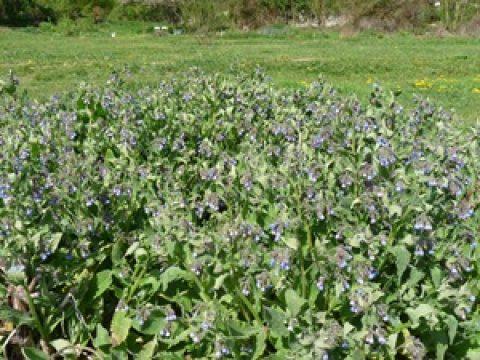 Plante utile au potager : La Consoude