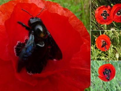 Insectes utile au potager : Le xylocope