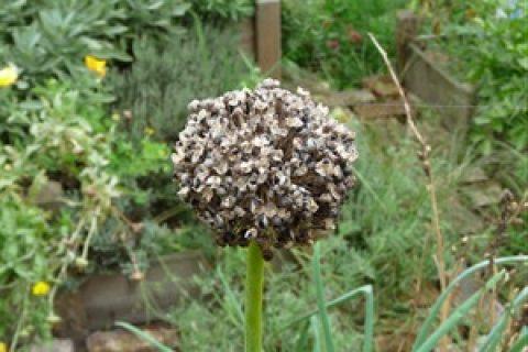 Récolter des graines de ciboule.