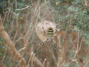 Epeire frelon sur son nid