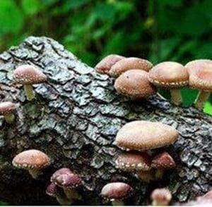 Champignon cultive sur buche