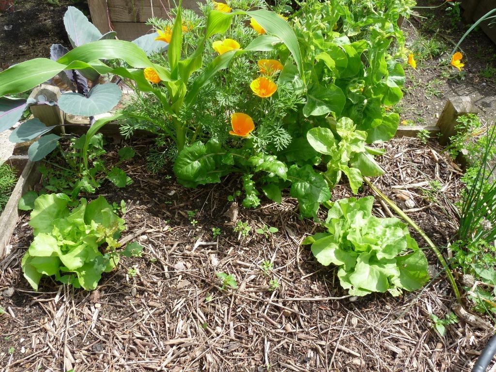 Quelle Salade Planter Maintenant histoire de 2 salades dans mon potager en carrés