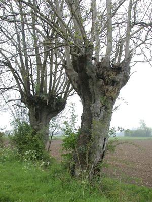 têtard : c'est l'arbre typique encore visible dans les prairies de ma région