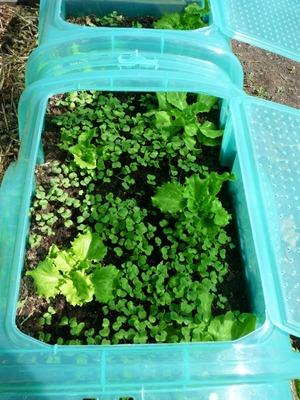 Semis de radis sur compost sous serre
