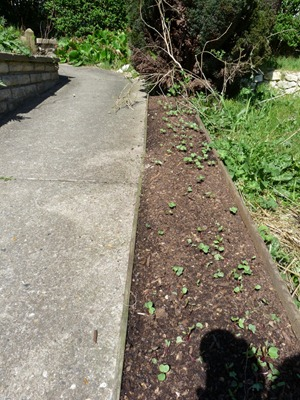 Semis de radis sur compost