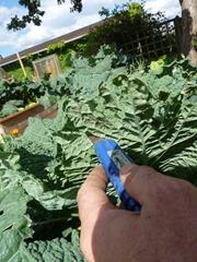 soigner les choux en jardinant debout (768x1024)