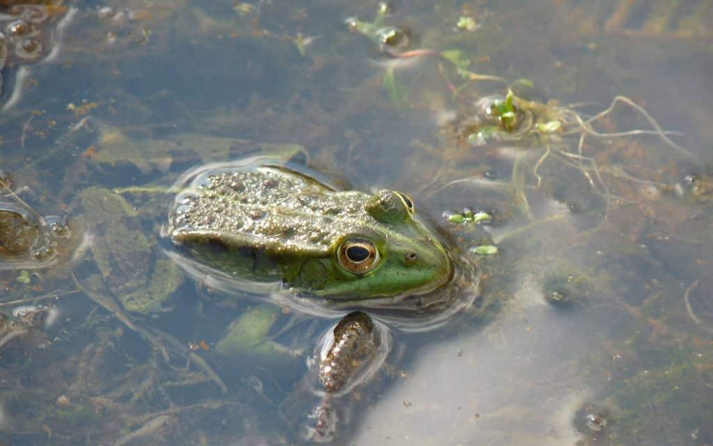 La grenouille fait partie des outils météo du jardinier