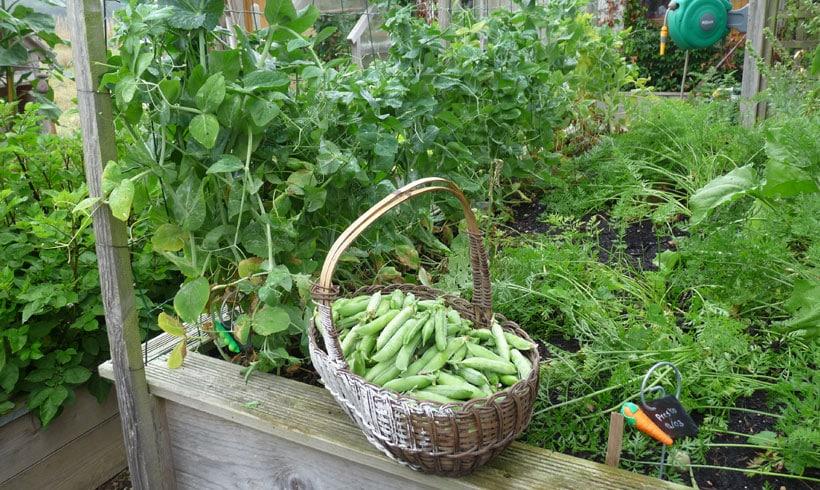 Que ce soit des petits pois ou des haricots, les légumes qui demandent beaucoup de temps pour être récoltés trouveront leur place dans un potager surélevé.