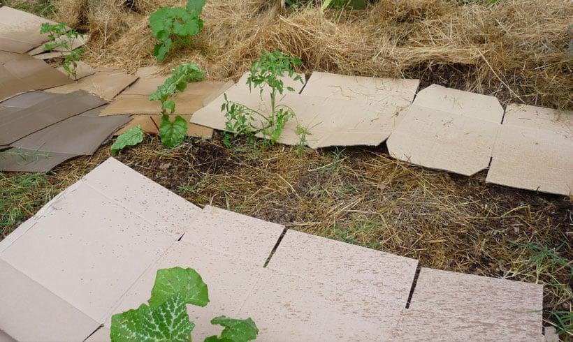 Le rôle des cartons est important pour étouffer la végétation, ils permettent aussi de limiter la quantité de foin ou de paille ensuite.
