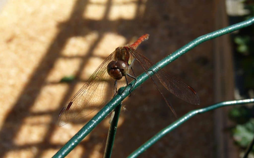 Les libellules volent comme des hélicoptères autour de la mare.