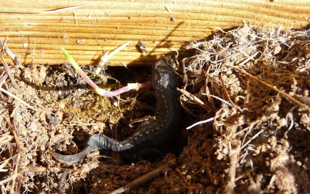 Les tritons viennent s'enterrer dans le potager pour passer l'hiver.