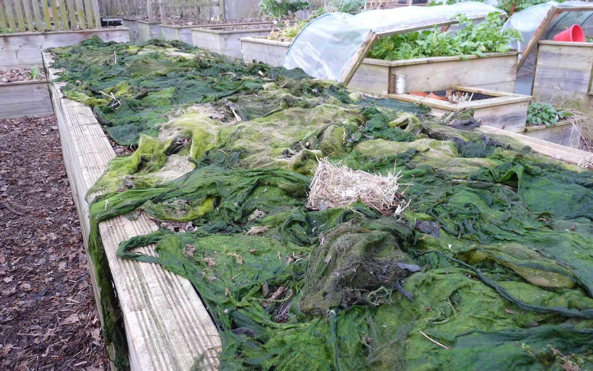 Après le nettoyage de la mare, vous pouvez utiliser les algues pour pailler vos planches de cultures.