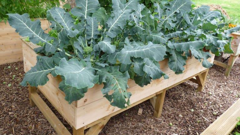 Même si les brocolis prennent beaucoup de place, ils se développent très bien dans le potager sur pieds.