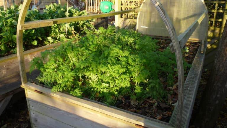 En fin de saison, on peut aussi cultiver des engrais vert dans le potager sur pieds.