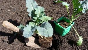 Planter dans du compost directement vos plants à repiquer