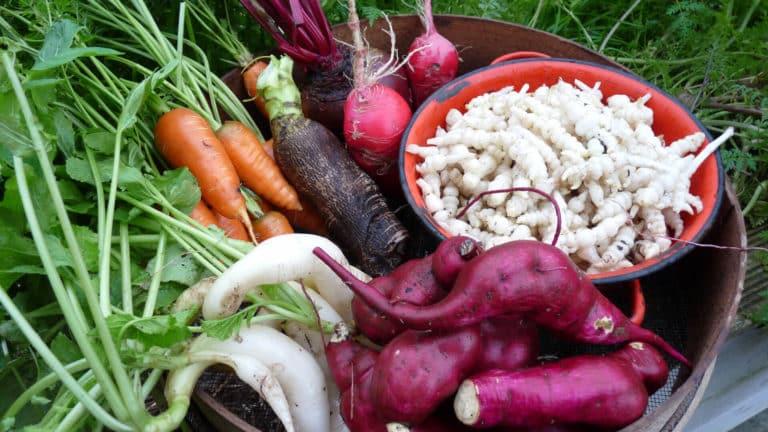 Récolte de légumes racines